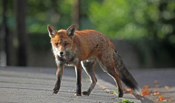 Bezpalīdzīgā stāvoklī nonākušu savvaļas dzīvnieku ķeršana…